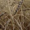 У 2013 році Хмельницька ОДА ставить надзавдання аграріям – зібрати 3 млн. т зерна