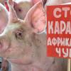На Хмельниччині знову прогресує спалах Африканської чуми свиней