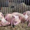 У 2016 році на Хмельниччині через спалахи Африканської чуми закрилося 10 свиноферм