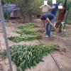 У Теофіпольському районі поліцейські виявили майже 400 кущів коноплі