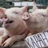 У Хмельницькій області на свинофермі олігарха Косюка зафіксований випадок Африканської чуми