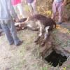 На Шепетівщині співробітники ДСНС врятували корову з каналізаційної ями